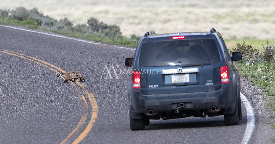 A badger crosses the road in Yellowstone's Lamar Valley.