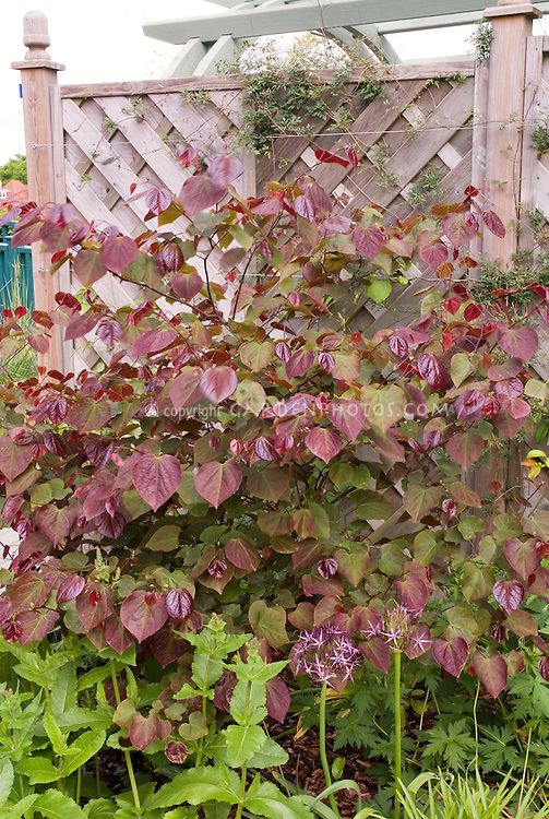 cercis canadensis forest pansy in may plant flower. Black Bedroom Furniture Sets. Home Design Ideas