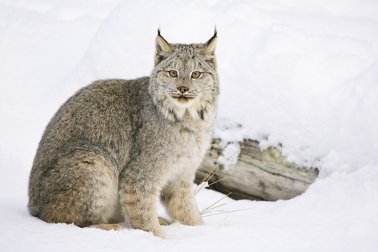 Canada Lynx sitting in front of a snow covered log - CA