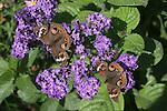 Common buckeye butterflies, Junonia coenia