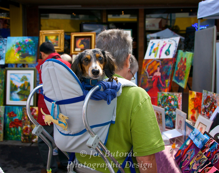 Dachshund Rides Arts Alive Festival Langley City