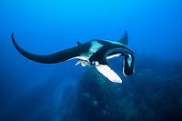 giant oceanic manta ray, Manta birostris, Socorro Island, Revillagigedo Islands, Mexico, Pacific Ocean