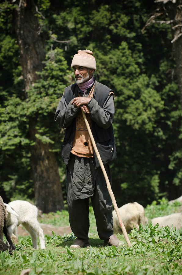 Bakarwal shepherd posing in pasture with his sheep, Western Himalayan Mountains, Kashmir, India..