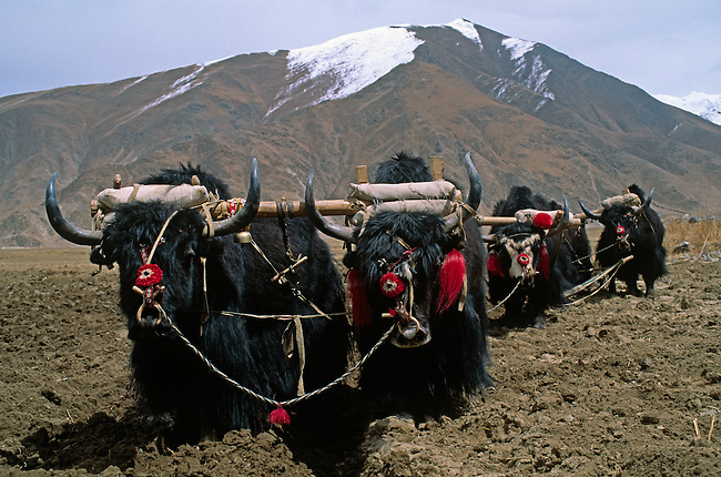 Teams of YAKS are used to PLOW the fields which will be planted with BARLEY & other crops - CENTRAL TIBET