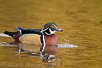 Wood Duck (Aix sponsa) male, Ohio, USA
