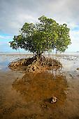 Palétuvier à marée basse, Nouvelle-Calédonie