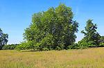 London plane tree in field summer blue sky, Sutton, Suffolk, England, UK