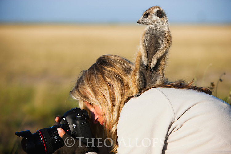 Botswana, Makgadikgadi Pan, Kalahari, suricate or meerkat (Suricata suricatta), adult standing on photographer's shoulder. This is a wild (not captured) suricate that has been habituated by humans. They like to climb up on sitting or kneeling humans for a higher vantage point to look out for predators