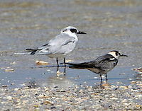 Juvenile black tern and adult Forster's tern in nonbreeding plumage in September