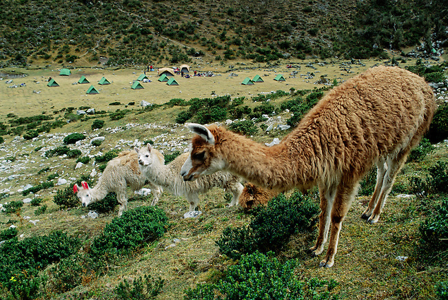 LLAMAS & an ALPACA share our camp at LLULLUCHAPAMPA (12,000 ft.) on the INCA TRAIL to MACHU PICCHU - PERUVIAN ANDES