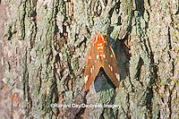 04001-00202 Regal Moth (Citheronia regalis) Marion Co.  IL