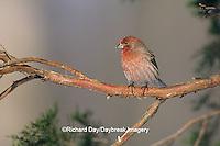 01643-00810 House Finch (Carpodacus mexicanus) male, Marion Co.   IL