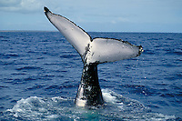 HUMPBACK WHALE,.Megaptera novaeangliae..Oceans worldwide. Endangered species.