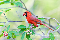 01530-23020 Northern Cardinal (Cardinalis cardinalis) male eating Serviceberry (Amelanchier canadensis) Marion Co. IL