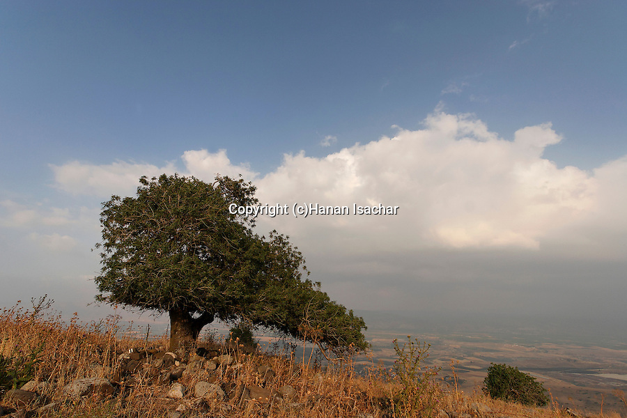 Israel, Issachar Heights. Atlantic Pistachio (Pistacia Atlantica) tree overlooking the Jordan Valley
