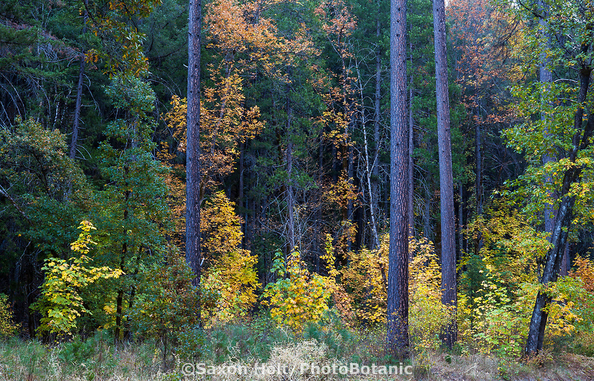 Mixed Conifer Forest with understory deciduous trees with Bigleaf Maples in autumn ; Castle Crags State Park, Shasta-Trinity National Forest, California