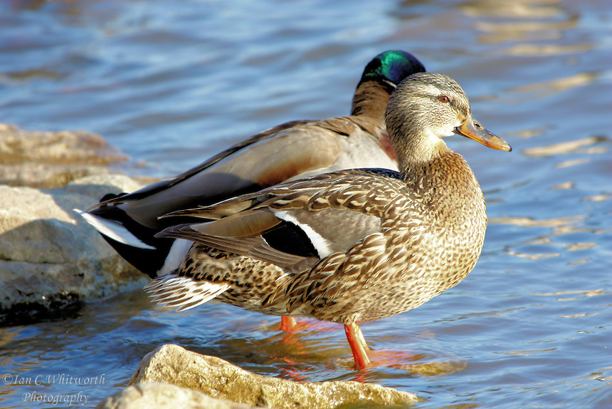 A pair of Mallard ducks rest on the rocks at the edge of the water
