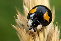 Harlequin Ladybird {Harmonia axyridis}. This is an invasive species in the UK. Derbyshire, UK, August.