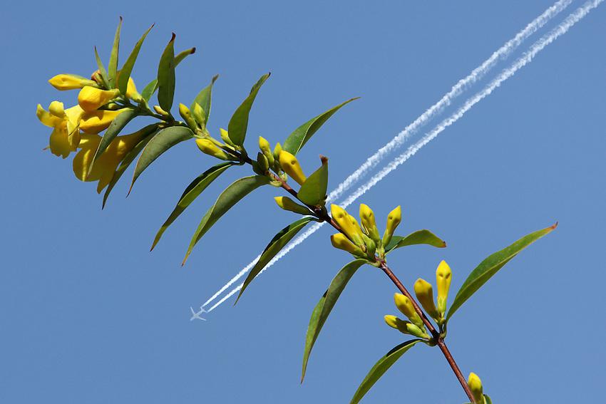 Jasmine Flowers, jet background.