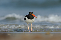 American Oystercatcher (Haematopus palliatus), adult, Port Aransas, Mustang Island, Texas Coast, USA