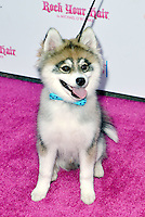 LOS ANGELES, CA - JULY 28: Norman the Pomsky attends the Teen Choice Awards Per-Party at Hyde Sunset on July 28, 2016 in Los Angeles, CA. Credit: Koi Sojer/Snap'N U Photos/MediaPunch