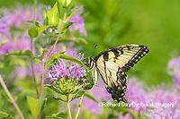 03023-03302 Eastern Tiger Swallowtail (Papilio glaucus) on Wild Bergamot (Monarda fistulosa) Marion Co. IL