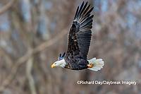 00807-03708 Bald Eagle (Haliaeetus lecocephalus) in flight Clinton Co. IL