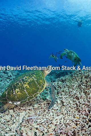 Green sea turtles, Chelonia mydas, an endangered species.  Hawaii.