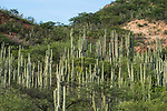 A forest of columnar cacti in the Sierra Madre Sur mountains between the Central Valleys of Oaxaca and the Pacific Ocean.  Mexico.