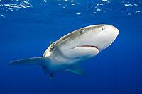 Oceanic Whitetip Shark, Carcharhinus longimanus, Cat Island, Bahamas, Caribbean, Atlantic Ocean
