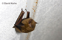 0411-1013  Little Brown Bat (syn. Little Brown Myotis), Myotis lucifugus  © David Kuhn/Dwight Kuhn Photography.