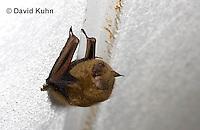 0411-1013  Little Brown Bat (syn. Little Brown Myotis), Myotis lucifugus  © David Kuhn/Dwight Kuhn Photography.