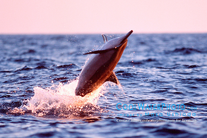 spinner dolphin, leaping at sunset, .Stenella longirostris, .Kona, Hawaii (Pacific).