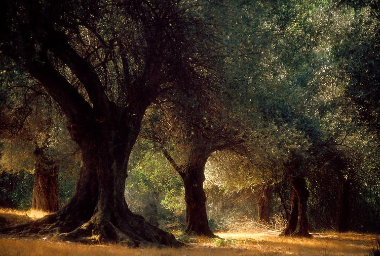 Crete, Greece, Olive trees, Olea europaea, Vlastos Farma, Fourfouras area.