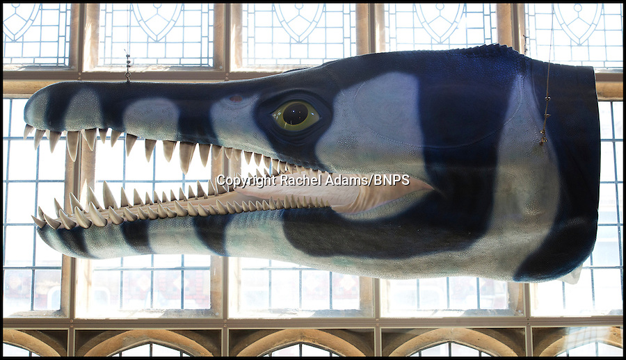 BNPS.co.uk (01202 558833)<br /> Pic: Rachel Adams/BNPS<br /> <br /> A model of what the pliosaur would have looked like. <br /> <br /> British scientists have identified a new species of a huge pre-historic sea monster and have named it after the fossil hunter who found it - Kevan. The fossilised remains of the 8.5ft long jaw from a 60ft long pliosaur. was four times more powerful than a Tyrannosaurus Rex. Experts pieced the 25 parts together that were painstakingly unearthed over five years by Kevan Sheehan (68), near his Osmington home, in Weymouth, Dorset. Although a handful of pliosaur specimens have been found before, Kevan's beast has been identified as a new species that was bigger and stronger than its cousins. Scientists have now named it Pliosaurus kevani.