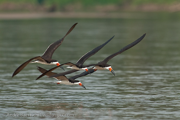 Black Skimmers (Rynchops niger) flying low above a river in lowland tropical rainforest, Manu National Park, Madre de Dios, Peru.