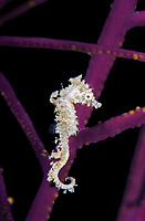 dwarf seahorse, Hippocampus zosterae, Key Largo, Florida, USA, Atlantic Ocean