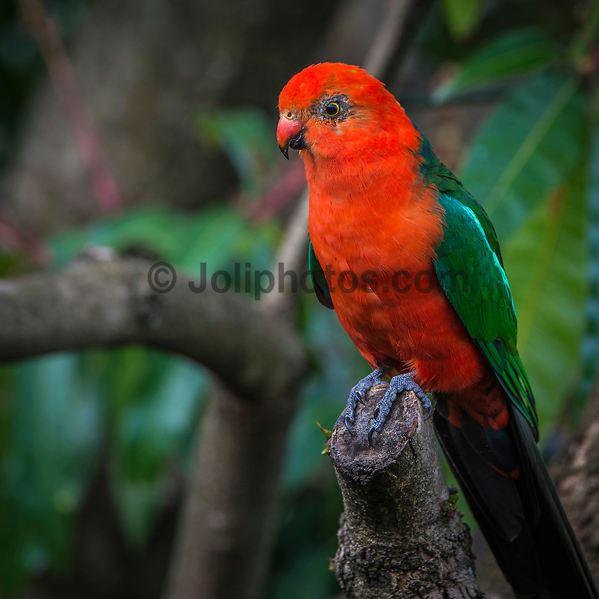 Coolangatta Queensland, Australia. (Thursday )September 29 , 2016): An overcast Spring day strong northerly winds, the threat of rain and thunderstorms with virtually no surf.  Two King Parrots, a male and a female spent a few hours in our garden today. Surely one of the most beautiful of all the parrots, the male King Parrot is resplendent in his plumage of scarlet red head and underparts, electric blue tail and emerald green wings and back. There is also a pale green stripe running from the shoulder down the wings. The female is less striking, yet is still an attractive bird with the red of the head and throat replaced with green. Photo: joliphotos
