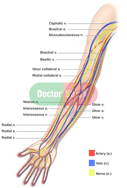anatomy of the nerves, arteries and veins of the arm (upper, Cephalic Vein