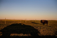 A bison grazes in Badlands National Park in South Dakota, USA.
