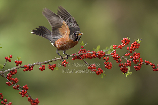 American Robin (Turdus migratorius), adult, Hill Country, Texas, USA