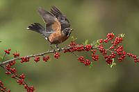 American Robin (Turdus migratorius), adult, Hill Country, Texas, USA