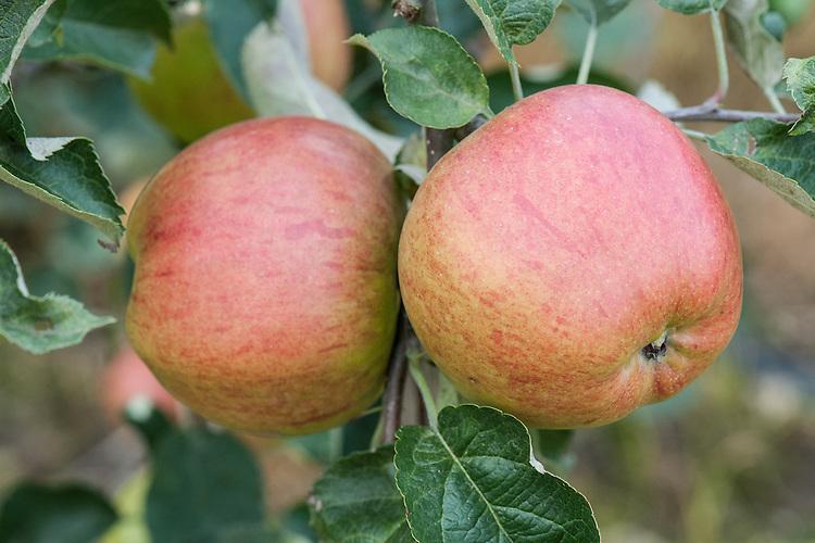 Apple 'Calville Boisbunel', late September. A French dual-purpose culinary-dessert apple. Named after M. Boisbunel of Rouen.