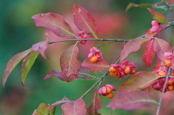 European Spindle-Tree, Euonymus europaea, fruit, fallcolors, Unterlunkhofen, Switzerland, Europe