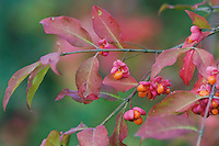 European Spindle-Tree, Euonymus europaea, fruit, fallcolors, Unterlunkhofen, Switzerland, Europe