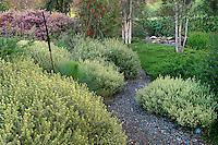 Westringia fruticosa 'Smokey' (Smokey Coast Rosemary) in Australian native plant garden at Lone Pine Arboretum, Cal Poly.
