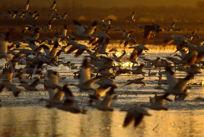 Snow Geese (Chen caerulescens) in mass take-off, sunrise at Bosque del Apache Wildlife Refuge, New Mexico