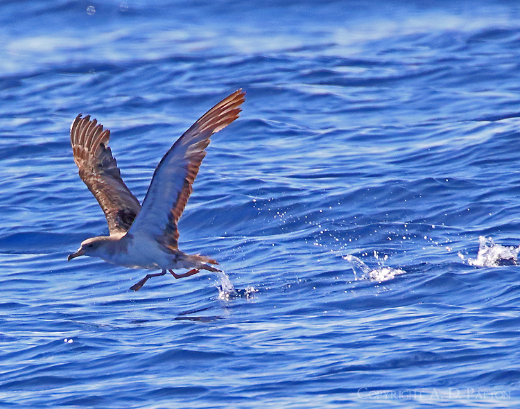 Cory's shearwater in take off run
