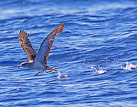 Cory's shearwater in take off run