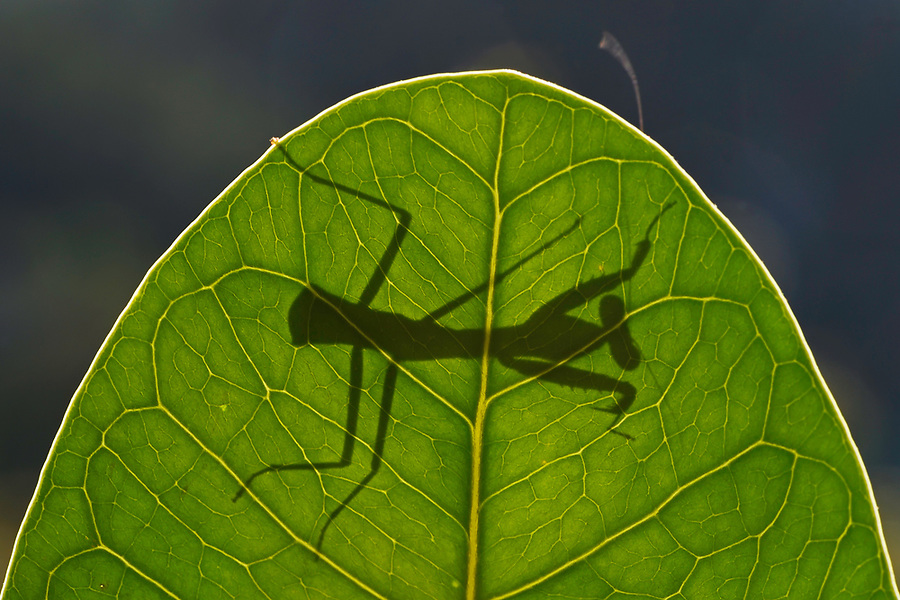 "Young Praying mantis, Mantis sp. Raja Ampat, Western Papua, Indonesian controlled New Guinea, on the Science et Images ""Expedition Papua, in the footsteps of Wallace"", by Iris Foundation"
